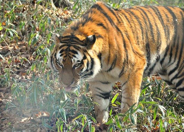 tiger3210071